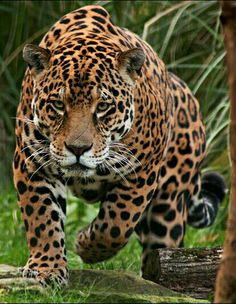 Only Primal Astrology has your TRUE zodiac sign, animal spirit guide, past lives, and more! Jaguar Animal, Jaguar Leopard, Nature Animals, Animals And Pets, Cute Animals, Beautiful Cats, Animals Beautiful, Wild Animal Wallpaper, Majestic Animals