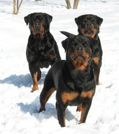 #Rotties - always ready to play)))