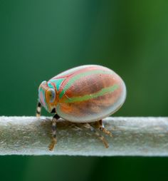Tortoise shell Types Of Insects, Cool Insects, Bugs And Insects, Pet Spider, Leafhopper, Beetle Insect, Cool Bugs, Interesting Animals, Beautiful Bugs