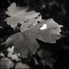 Feather on Leaf.  © Paul Salmon.