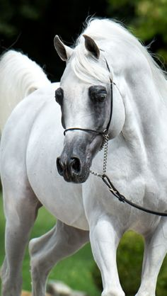 Beautiful White Arabian equine.