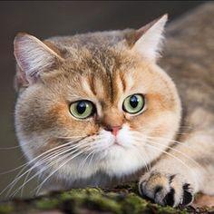 Op deze foto is de dikke kop van de kat goed te zien. Dit is belangrijk, want als één lichaamsdeel niet dik is, is de hele kat uit verhouding.