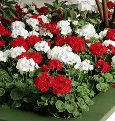 Red and White Geraniums
