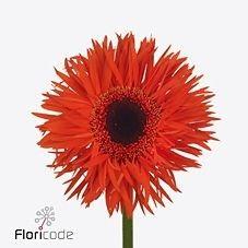 Gerbera Spider Caniggia is a pretty Orange cut flower.