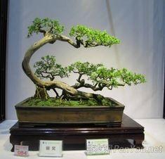 Bonsai - What a beautiful shape