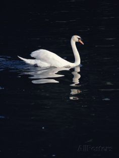 A Graceful Mute Swan Glides Across the Dark Waters of the Thames Photographic Print