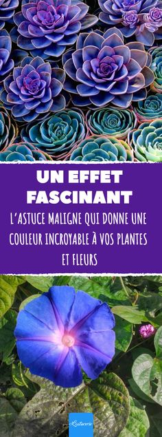 The clever trick that gives incredible color to your plans .- L'astuce maligne qui donne une couleur incroyable à vos plantes et fleurs. The clever trick that gives incredible color to your plants and flowers - Gardening Magazines, Horticulture, Garden Online, Plants, Garden, Succulents, Botanical Gardens, Garden Gifts, Bell Gardens