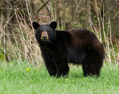 Image result for black bears