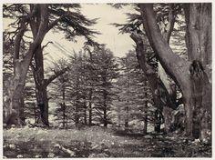 Cedars of Lebanon: Internet Archive