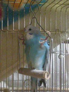 ☆★☆parakeet - lmao those legs Budgie Parakeet, Budgies, Funny Birds, Cute Birds, Cute Little Animals, Cute Funny Animals, Bird Pictures, Animal Pictures, Australian Parrots