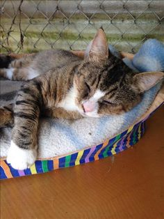 This face might look familiar, since featuring Trax at Thanksgiving, he is still napping the day away at the BC SPCA Abbotsford Branch. If you have a home he can cuddle up in, find out more by clicking his picture.