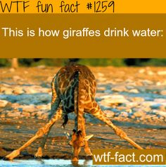 How do giraffes drink water. animales facts