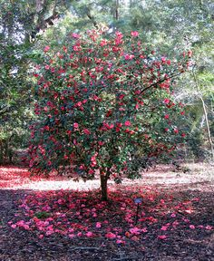 2014-03-18 Teresa, Carol & I went to Leu Gardens & the camellias were in bloom! - Red Camellia Tree by jared422_80, via Flickr