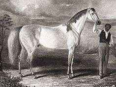 Grey Eagle, an early important sire from kentucky. He ran in two mile and four mile heats, and was important to the development of American thoroughbreds, quarter horses ,and saddlebreds. Among current day descendants are the great mare Zenyatta.