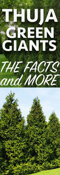 Thuja Green Giants are fast growing evergreens that are perfect for living privacy fences. Learn all about them and how to take care of them here!