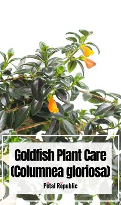 The goldfish plant brightens up any home with tubular red and yellow flowers that resemble the plant's namesake fish. Along with delightful blooms, these plants have gorgeous trailing leaves which make for a dramatic cascading display. Before you add a goldfish plant to your home, know they require specific care. Here we're going to tell you everything you need to know to about Goldfish Plant Care including how to plant; the best soil mix; light, temperature, and humidity considerati Indoor Ferns, Outdoor Plants, House Plant Care, House Plants, Orchid Potting Mix, Goldfish Plant, House Plant Delivery, Money Trees, Peat Moss