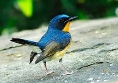 ミヤマヒメアオヒタキ Hill blue flycatcher (Cyornis banyumas)
