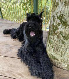 Black Schnauzer, Standard Schnauzer, Schnauzer Puppies, Giant Schnauzer, Schnauzers, Large Dog Breeds, Cute Dogs, Pets, Animals