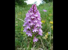 Orchid: Anacamptis pyramidalis