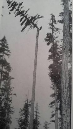 Crazy or brave. you be the judge. But in my experience as an arborist you always get a 'rush' of relief the second you hear that crack and it falls free SkullyBloodrider. Vintage Pictures, Old Pictures, Old Photos, Giant Tree, Big Tree, Design Visual, Old Trees, All Nature, History Photos