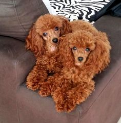 My gorgeous red teacup poodle girls, Lexi and Ruby