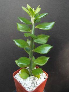"Pereskiopsis Spathula, grafting stock pereskia cactus rare graft leaf cacti 4"""