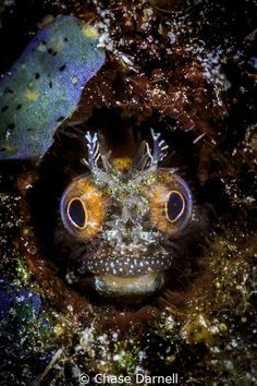 """""""Vision"""" Trippy Blenny close up, Macabuca Grand Cayman ... by Chase Darnell"""