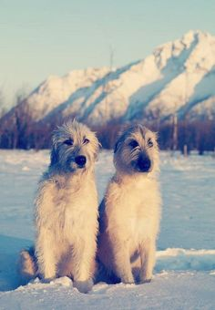 Irish Wolfhounds I want one of these