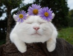 Shironeko the flower Buddha.Click the link now to find the center in you with our amazing selections of items ranging from yoga apparel to meditation space decor! Silly Cats, Cute Cats And Kittens, I Love Cats, Cool Cats, Kittens Cutest, Funny Cats, Crazy Cat Lady, Crazy Cats, Costume Chat