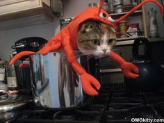 lobster cat... in a pot...