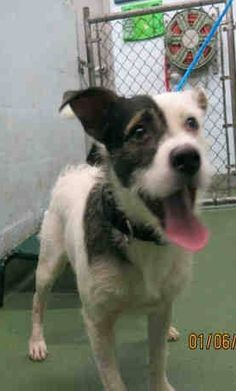SAFE --- BISCUIT (A1670384) I am a male white and tan Jack (Parson) Russell Terrier mix.  The shelter staff think I am about 2 years old and I weigh 34 pounds.  I was found as a stray and I may be available for adoption on 01/09/2015. — hier: Miami Dade County Animal Services.  https://www.facebook.com/urgentdogsofmiami/photos/pb.191859757515102.-2207520000.1420648070./905648512802886/?type=3&theater