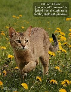 The Chausie is a hybrid feline breed, which means these domesticated cats are also part wild cat.