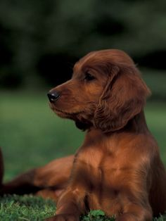 Irish / Red Setter Puppy