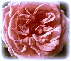 Momentsbook.com: Το Ιερό Άνθος των Ορφικών.  Συμβολίζει την Ουράνια... #PinkFlowers #FloresRosas