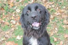 Ebony is an adoptable Newfoundland Dog Dog in Lancaster, OH. Ebony was a stray that was hit by a car and had a broken leg. After spending some time up at the vet, she is ready to go home. She is very ...