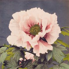 Beautiful photomechanical prints of Peony by Ogawa Kazumasa. Original from The Rijksmuseum. Digitally enhanced by rawpixel. Art Vintage, Vintage Art Prints, Peony Illustration, Japanese Flowers, Reproduction, Free Illustrations, Flower Illustrations, Pink Peonies, William Morris