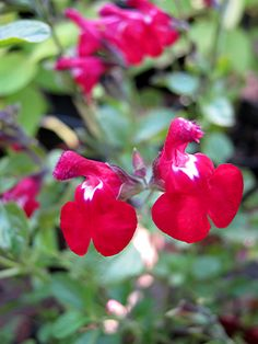 Salvia Bright Eyes