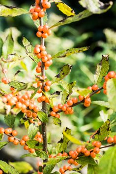 Winterberry holly. Photo: Randy Harris for The New York Times