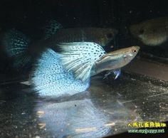 High Dorsal Blue Grass Guppy pair - she is behind him and a little hard to see