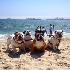 These Enlgish Bulldogs have the best beach bods we have ever seen.   www.bullymake.com
