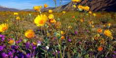 From Canada to California, these wildflower fields are breathtaking.