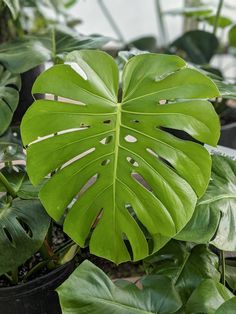 This post shares my monstera deliciosa care guide. Growing monstera deliciosa indoors, or the swiss cheese plant, makes a beautiful addition to your home! Monstera Deliciosa, Snake Plant Care, Pothos Plant, Plant Propagation, Short Plants, Cheese Plant, Air Plant Display, House Plants Decor, Water Plants