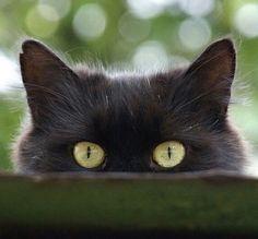 Black cat behind fence