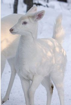 """♥✤♥ White #deer in the #snow ♥✤♥  White deer is part of Native American oral tradition, and was known as """"Ghost Deer""""               ♥✤♥ #Cerf blanc dans la #neige ♥✤♥  Le cerf blanc fait partie de la tradition orale amérindienne et était connu comme """"Cerf fantôme""""  #woods #wildlife #white #snow #winter       #WTF #OMG #weird #bizarre #Goodies #Stuff #Strange #Odd #unusual #Funny #Fun #amazing  #Animals #Animaux #Animal #nature #beaute #beauty #life #vie"""