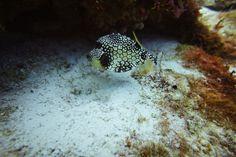 #Reef fish Pescada bonita