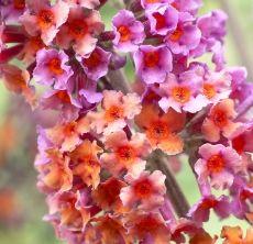 Buddleja Flower Power