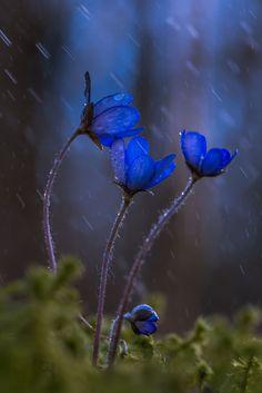Anemone hepatica by Jari Ehrström on ) Flowers Wallpaper, Flower Phone Wallpaper, Flower Pictures, Nature Pictures, Pretty Flowers, Blue Flowers, Anemone Hepatica, Anemone Flower, Foto Macro