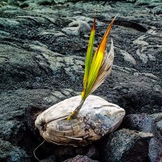 coconut | kaimu beach | vnp | big island | hawaii | photo by kip_cline
