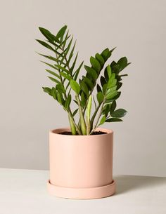 The ZZ Plant is characterized by its thick waxy green leaves. They do well in medium to low light, watered infrequently. This is a great air purifying plant for beginners. Shop The Sill's collection of houseplants and indoor plants for delivery. Big Indoor Plants, Potted Plants, Indoor Gardening, Indoor Herbs, Cactus Plants, Flower Plants, Hydroponic Plants, Fine Gardening, Cool Plants