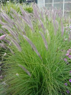 Pennisetum Mountain Ruby Grass - dramatic in containers